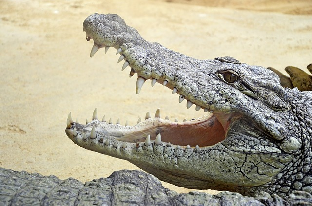 A crocodile has some of the strongest jaws in existence. You don't want to be caught in those teeth!