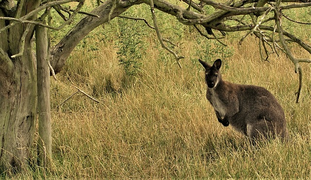 In some parts of Australia, kangaroos are considered pests. As for their use as food, they are among the most sustainable meats out there. In addition, they're high in protein and very lean. A great food combo!