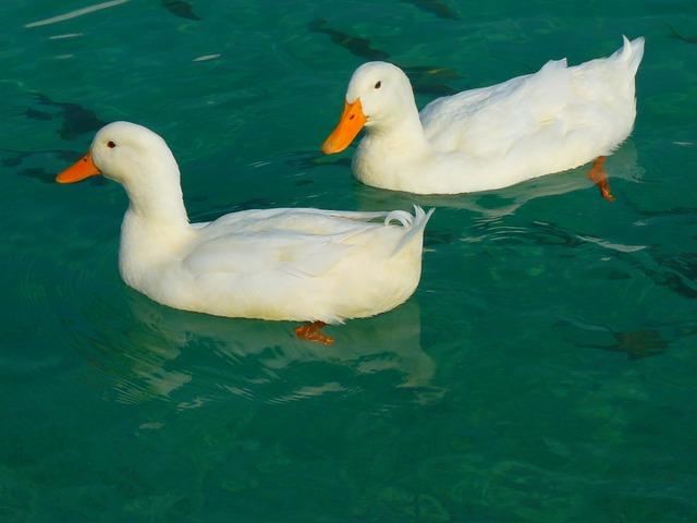 Floating ducks